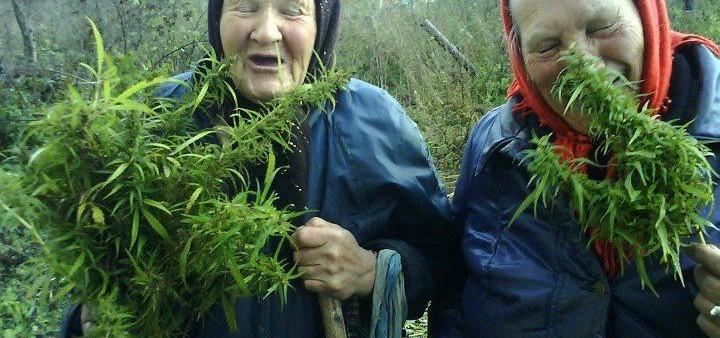 babushkas harvesting cannabis garden.