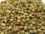 cannabis and marijuana seeds