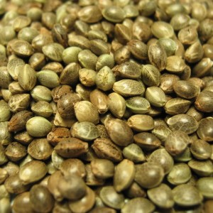cannabis and marijuana seeds
