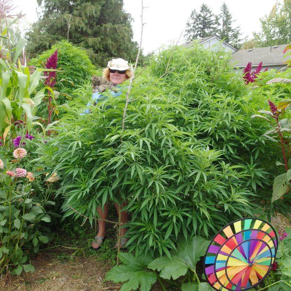 appaloosa sky (sativa dominant cannabis)
