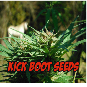 Kick Boot Seeds