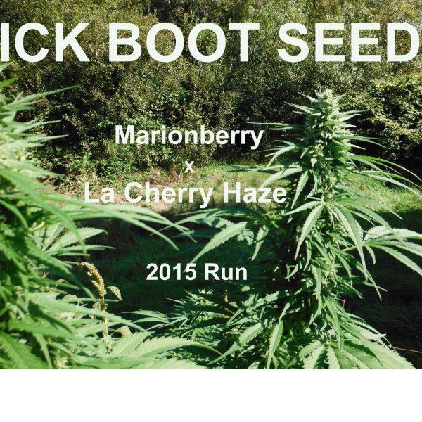 tailspin - marionberry x la cherry haze