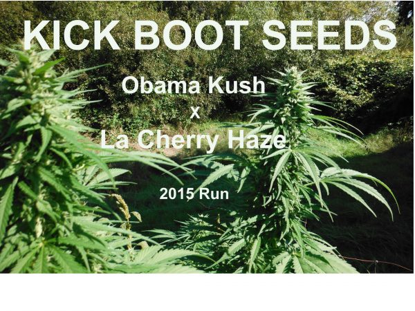 obama kush x la cherry haze