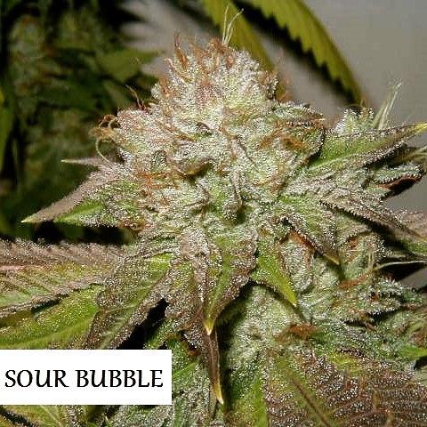 sour bubble in flower