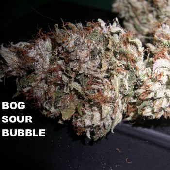sour bubble dried bud