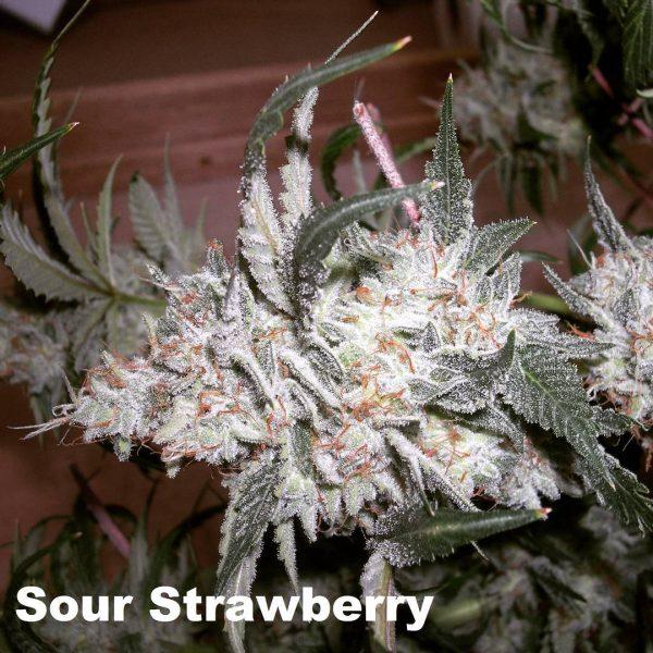 bog sour strawberry