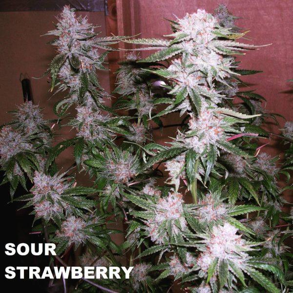 sour strawberry indoor