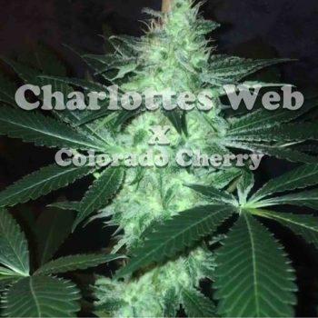 charlotte's cherries