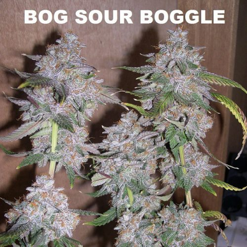 sour boggle indoor