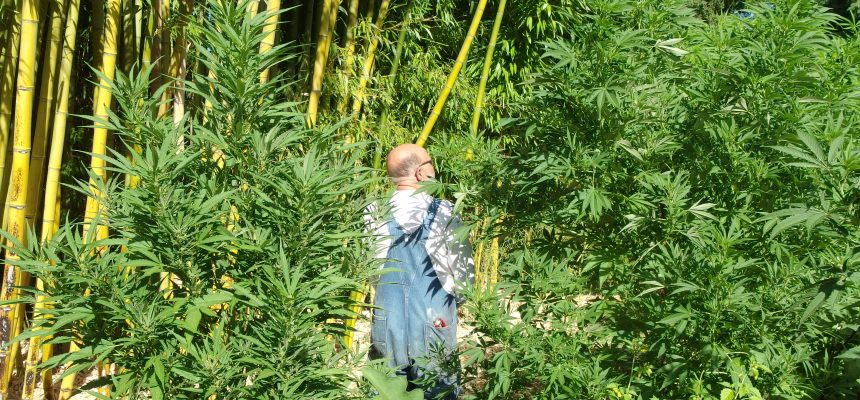 cannabis plants with timber bamboo