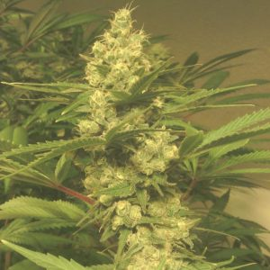cindy's blue cheese indoor