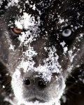 bionic snowdog