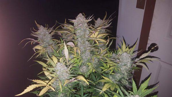 stardawg plant indoor